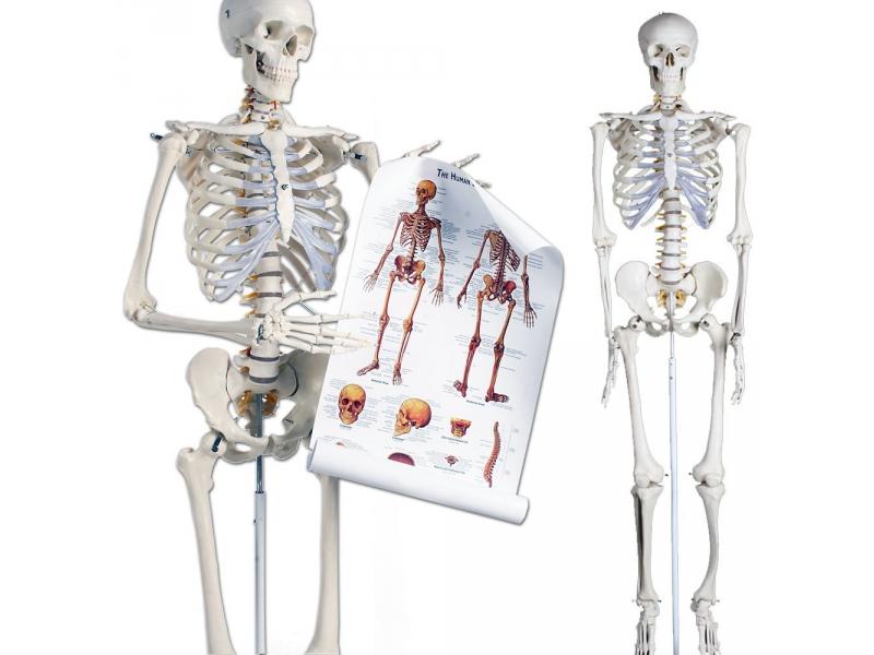 Esqueleto humano RealMet | BC Equipos